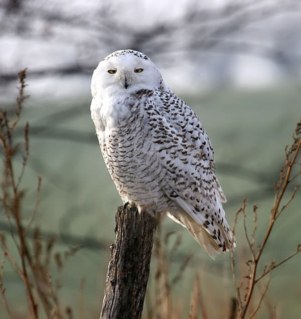 40 Snowy Owl Pictures for the House of Gandalf 34
