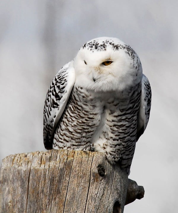 40 Snowy Owl Pictures for the House of Gandalf 35