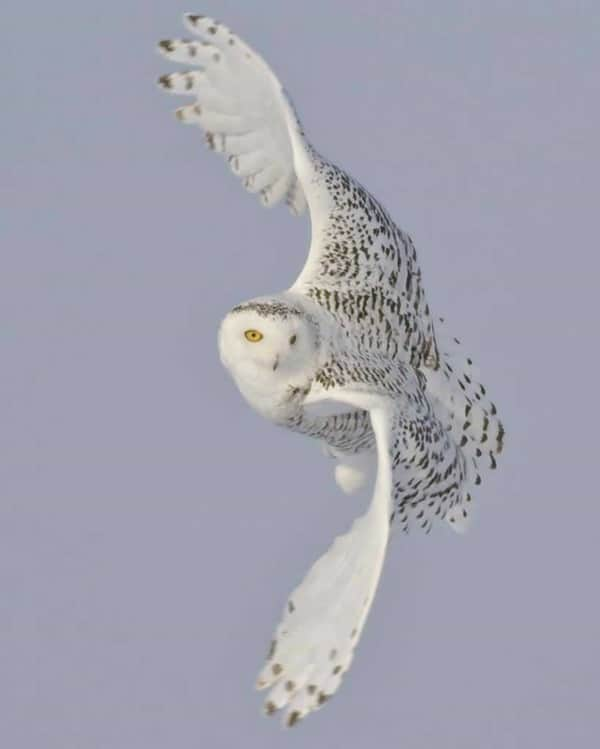 40 Snowy Owl Pictures for the House of Gandalf 37