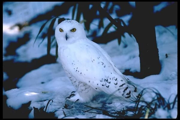 40 Snowy Owl Pictures for the House of Gandalf 38