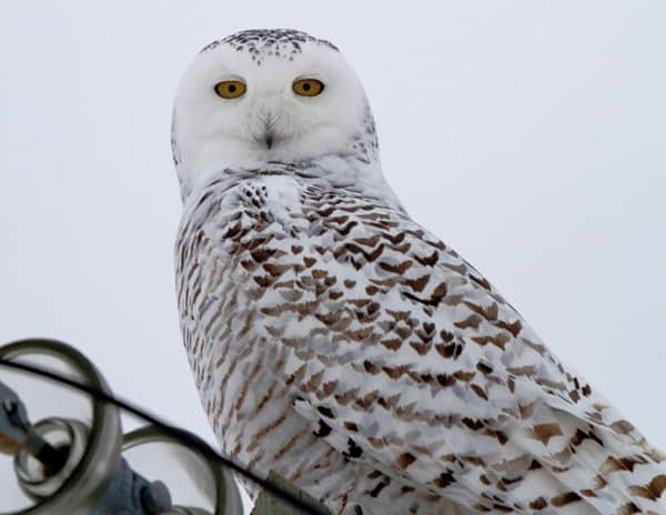 40 Snowy Owl Pictures for the House of Gandalf 40