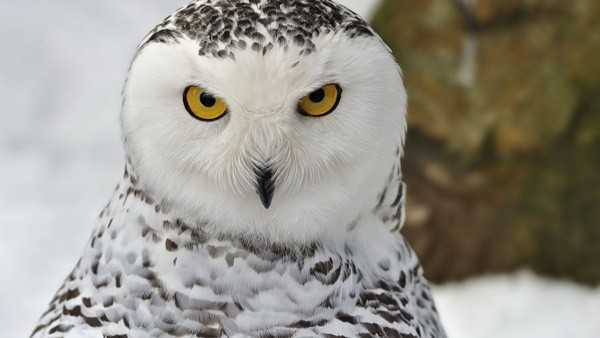 40 Snowy Owl Pictures for the House of Gandalf 7