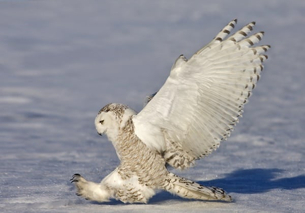 40 Snowy Owl Pictures for the House of Gandalf 9