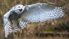 40 Snowy Owl Pictures for the House of Gandalf Feature Image