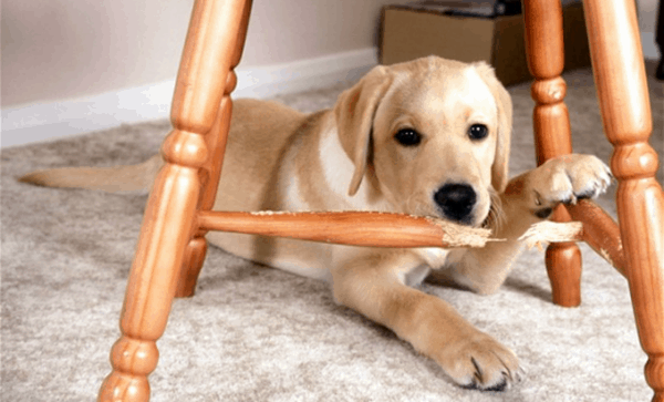 How to Train your Dog not to Chew his Bed 4