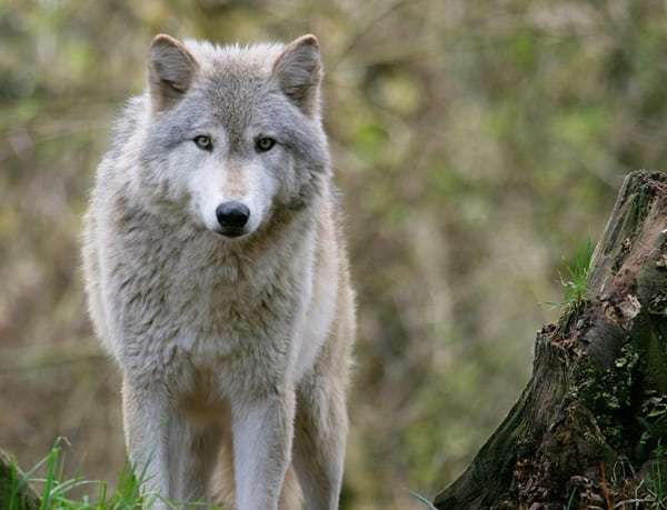 Hybrid Wolf Dog Breed Information with Pictures 1