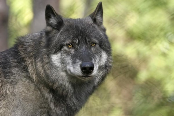Hybrid Wolf Dog Breed Information with Pictures 10