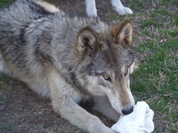 Hybrid Wolf Dog Breed Information with Pictures 11