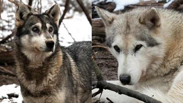 Hybrid Wolf Dog Breed Information with Pictures 15