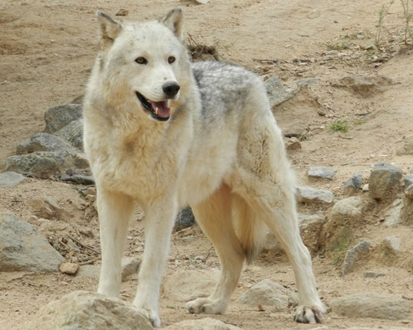 Hybrid Wolf Dog Breed Information with Pictures 17