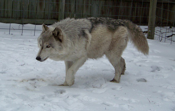 Hybrid Wolf Dog Breed Information with Pictures 19