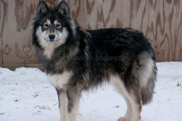 Hybrid Wolf Dog Breed Information with Pictures 24