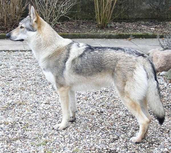 Hybrid Wolf Dog Breed Information with Pictures 5
