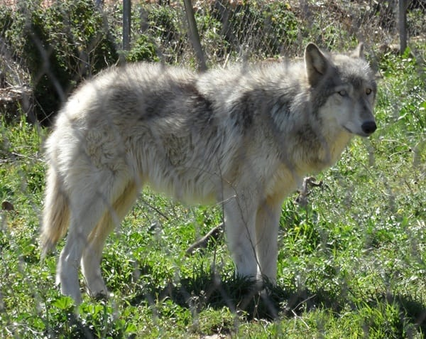 Hybrid Wolf Dog Breed Information with Pictures 6