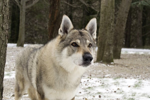 Hybrid Wolf Dog Breed Information with Pictures 7