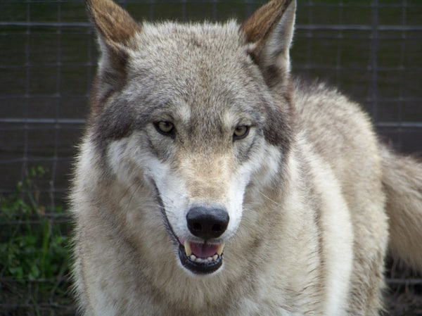 Hybrid Wolf Dog Breed Information with Pictures 8