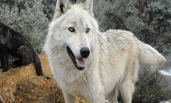 Hybrid Wolf Dog Breed Information with Pictures Feature Image