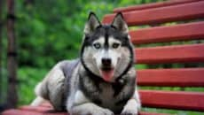 Siberian Husky, Everything you need to know about them 2
