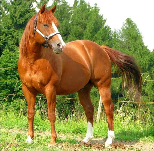 10 Best Horse Breeds List 1