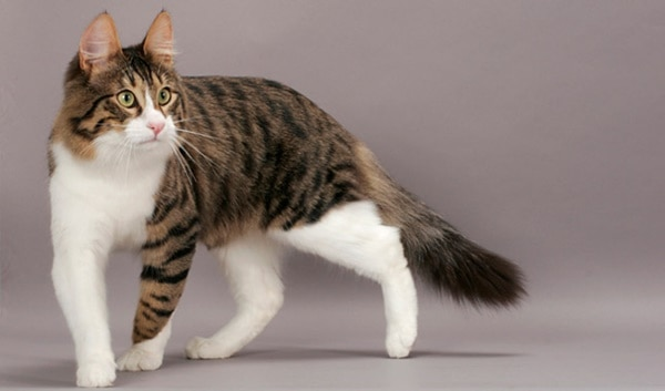 10 Most Beautiful Cat Breeds in the World 1