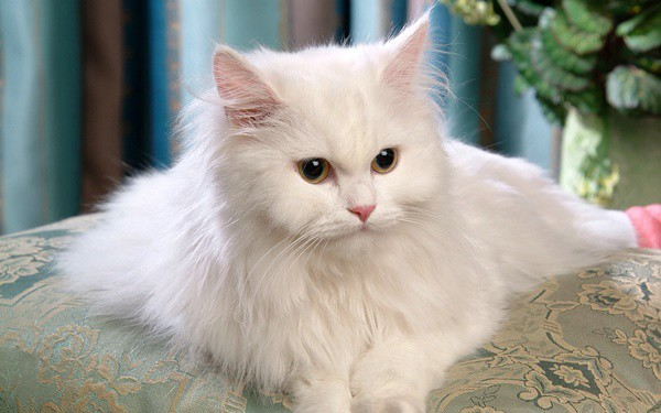 10 Most Beautiful Cat Breeds in the World 10