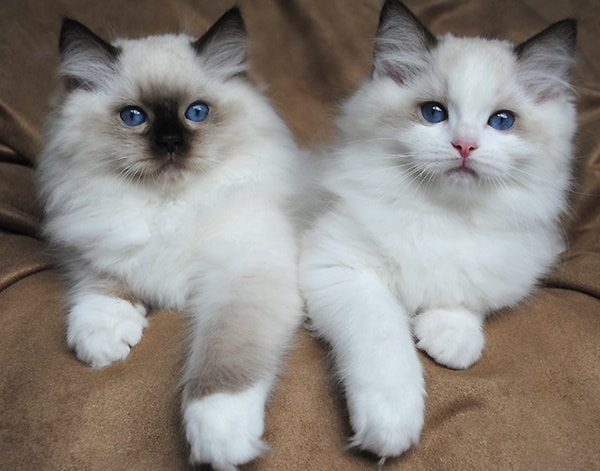10 Most Beautiful Cat Breeds in the World 5