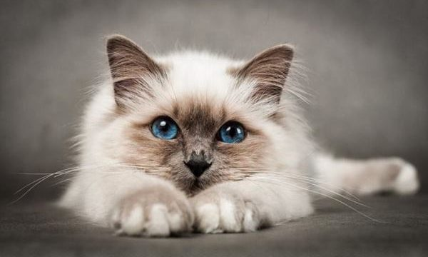10 Most Beautiful Cat Breeds in the World Feature Image