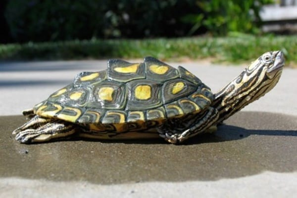 10 Weird and Wonderful Turtle and Tortoise Species 10