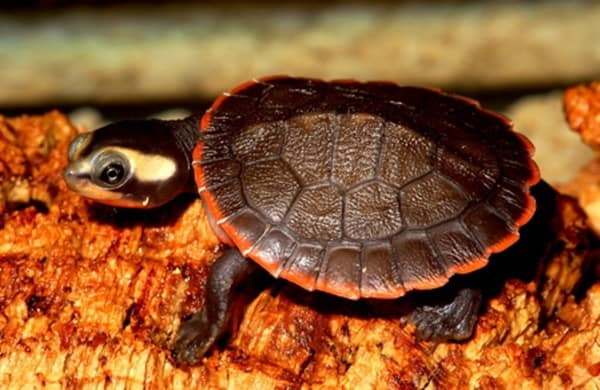 10 Weird and Wonderful Turtle and Tortoise Species 2