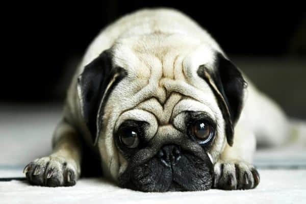 40 Adorable Pictures of Pug Dog Feature Image