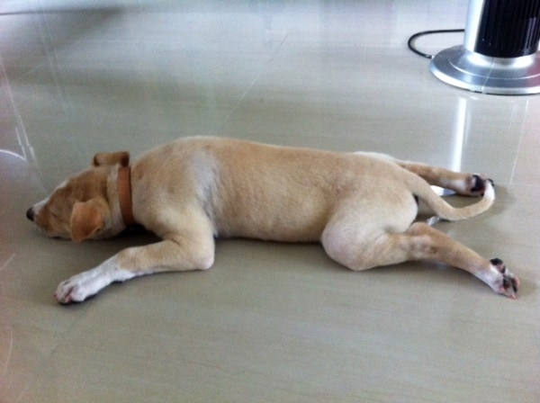 40 Adorable and Cute Pictures of Dog Planking 11
