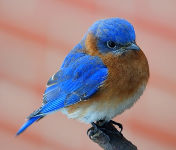40 Beautiful Pictures of Bluebirds 1