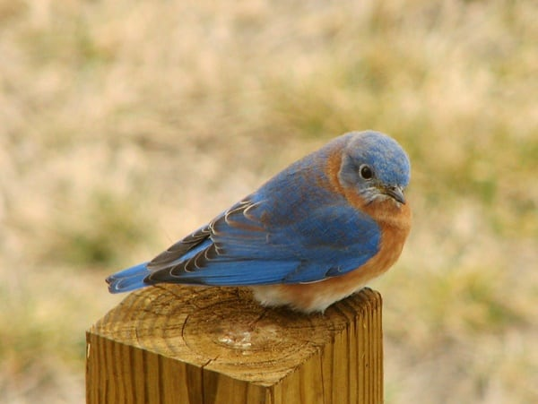 40 Beautiful Pictures of Bluebirds 10