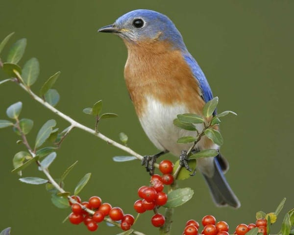 40 Beautiful Pictures of Bluebirds 11