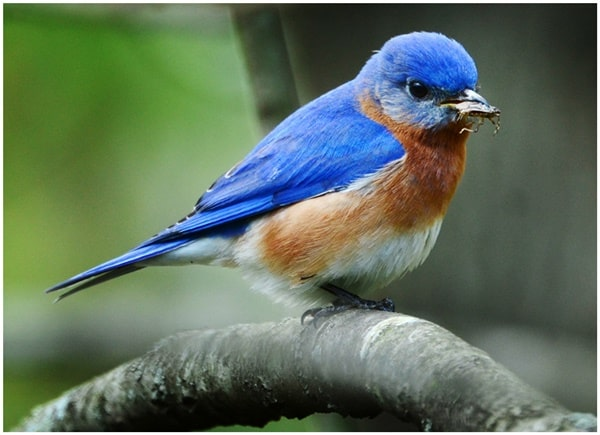 40 Beautiful Pictures of Bluebirds 16