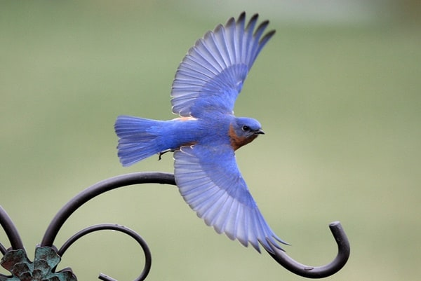 40 Beautiful Pictures of Bluebirds 18