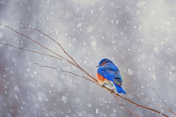 40 Beautiful Pictures of Bluebirds 26