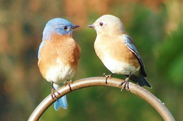 40 Beautiful Pictures of Bluebirds 27