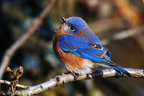 40 Beautiful Pictures of Bluebirds 28