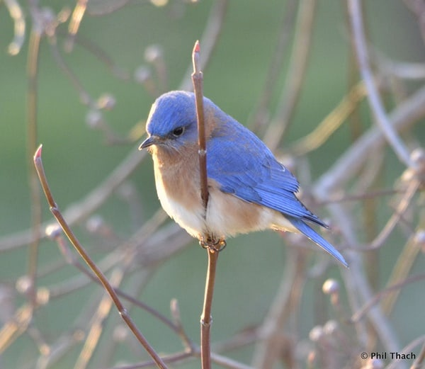 40 Beautiful Pictures of Bluebirds 35
