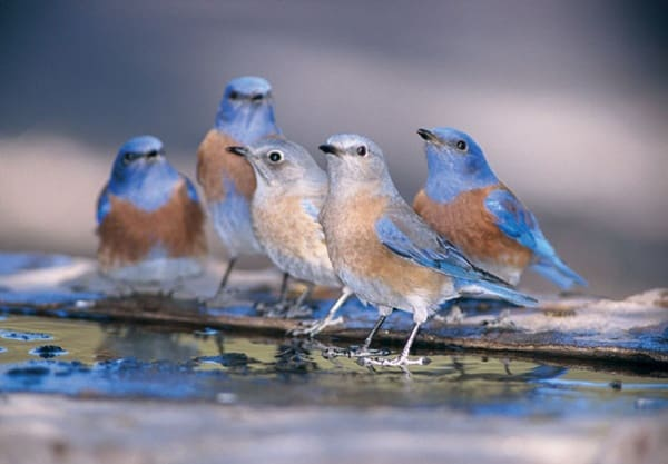 40 Beautiful Pictures of Bluebirds 36