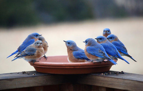 40 Beautiful Pictures of Bluebirds 39