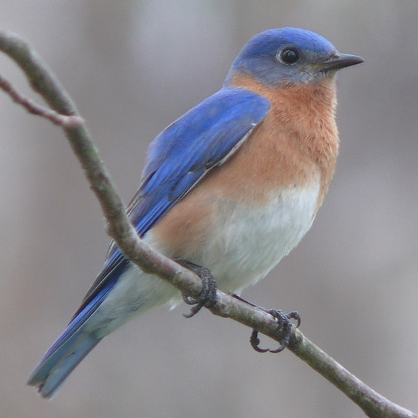 40 Beautiful Pictures of Bluebirds 4
