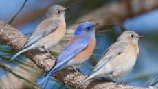 40 Beautiful Pictures of Bluebirds Feature Image