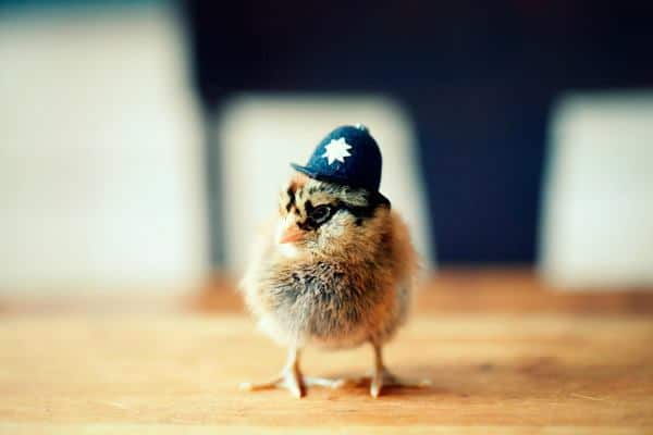 40 Funny and Cute Ideas Of Chicken Pictures Feature Image