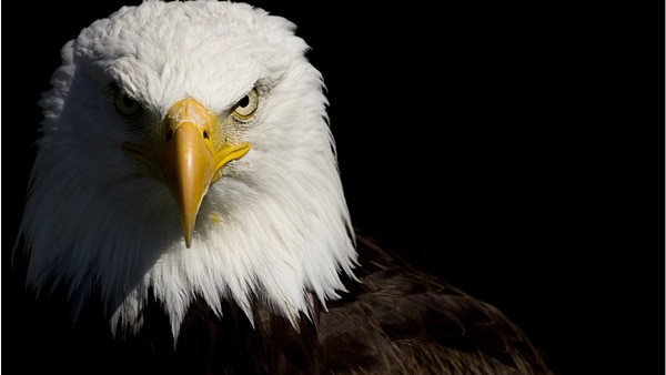 40 Immoral and Powerful Pictures of Eagle 33