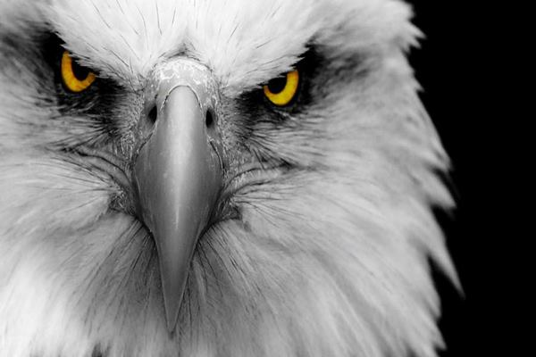 40 Immoral and Powerful Pictures of Eagle Feature Image