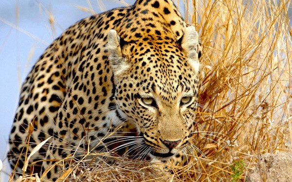 40 Pictures of Leopard in their Wild Nature 14