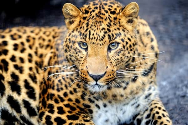 40 Pictures of Leopard in their Wild Nature 20