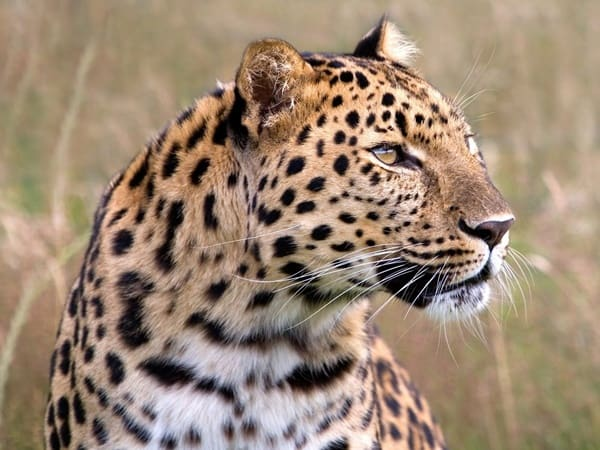 40 Pictures of Leopard in their Wild Nature 26